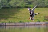 Ducks in flight ; comments:10