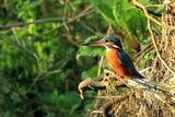 Земеродно рибарче (Alcedo atthis) ; comments:8