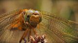 (Anisoptera)....Близък план!!! ; comments:75