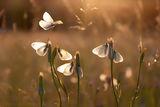 Пеперуди ; comments:37