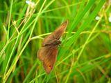 Кафява пеперуда ; comments:1