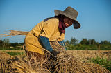 Жътва на ориз ; comments:17