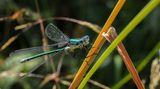 """""""Zygoptera"""" ....Водно конче - подраздел (равнокрили) ; comments:46"""