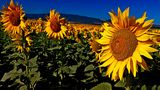 sunflower ; Comments:2