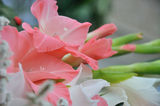 Gladioli 2 ; comments:14