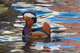 Mandarin Duck ; comments:10
