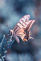 Papilio machaon - Голям полумесец ; comments:17