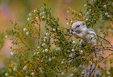 White-tailed antelope squirrel ; comments:56