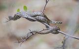 Леопардов смок - една от най- редките и красиви змии в България.... ; comments:59