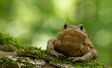 Кафявакрастава жаба(Bufo bufo) ; comments:36
