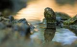 Обикновена блатна костенурка (Emys orbicularis) ; comments:45