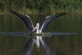 Къдроглав пеликан ; comments:11