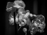 Орхидея ; comments:11