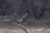 Скален орел ; comments:38