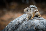White-tailed antelope squirrel ; comments:8