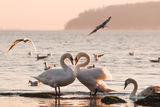 Лебеди ; comments:11