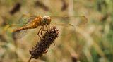 (Anisoptera) Водно конче... ; comments:60