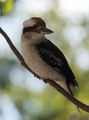 Laughing Kookaburra ; Comments:8