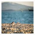 бяла стърчиопашка край морето... (2) ; comments:26