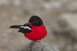 Crimson-breasted shrike ; comments:5