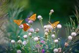 Пеперуденото царство ; comments:61