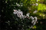 Трендафилът мирише, Бодилото боде, А любовта говори,... ; comments:37