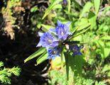Скакавишко цветенце ; comments:4
