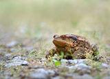 Голяма крастава жаба (Bufo bufo spinosus) ; comments:70