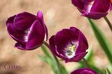пролет в лилаво ; comments:5