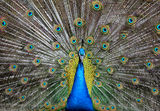 Peacock ; Comments:10
