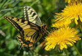 Пеперуда ; comments:74