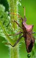 Акащ бръмбар ; comments:5