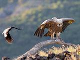 Лешояд и врана ; comments:50