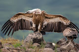 Белоглав лешояд (Gyps fulvus) Griffon vultures ; comments:43