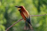 Обикновен пчелояд - Merops apiaster ; Comments:6