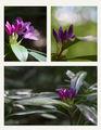 Странджанска зеленика (Rhododendron ponticum) ; comments:70