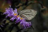 (Aporia crataegi) ; comments:60