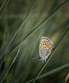 Пеперуда ; comments:68