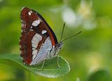 Пеперуда ; comments:116