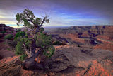 Dead Horse Point Pine ; Comments:25