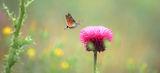 Гълъбова опашка ; comments:10