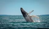 гърбат кит ; comments:42