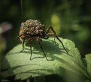 Pardosa amentata - ( Паяк Вълк ) ; comments:62