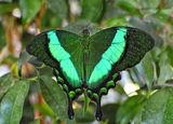 Papilio palinurus ; No comments