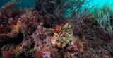 Tompot blenny ; comments:16