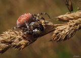 Araneus diadematus - Паяк кръстоносец! ; comments:76