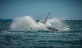 гърбат кит 2 ; comments:16