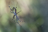 Тигров паяк (Argiope bruennichi) ; comments:65