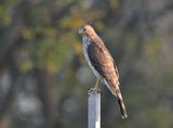 Cooper's hawk ; comments:11