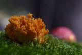 Златистожълта коралка (Ramaria aurea) ; comments:63
